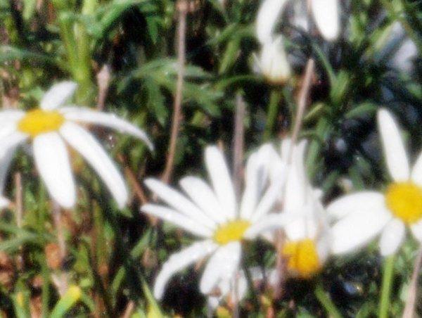 Rokinon-daisies-detail-2.jpeg