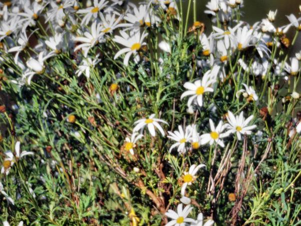 Rokinon-daisies.jpeg