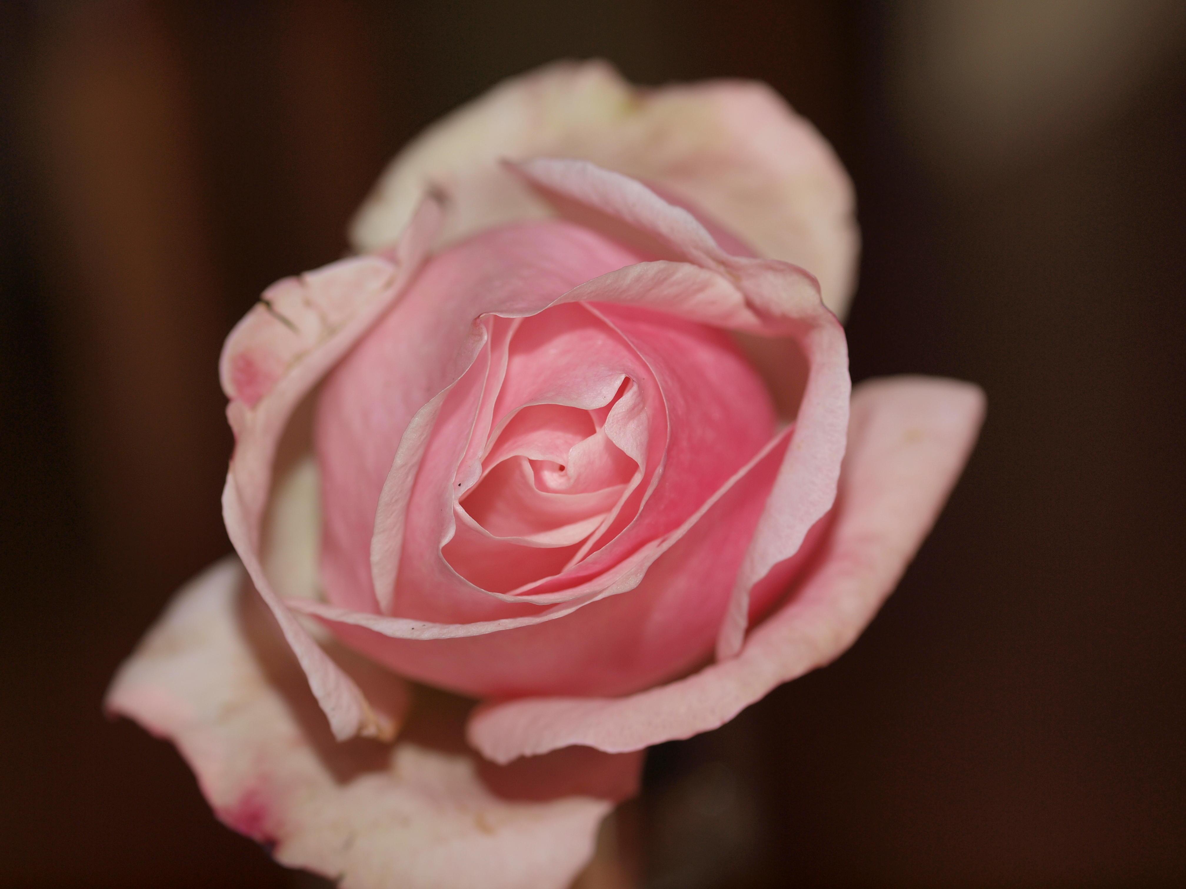 rose-3.jpeg