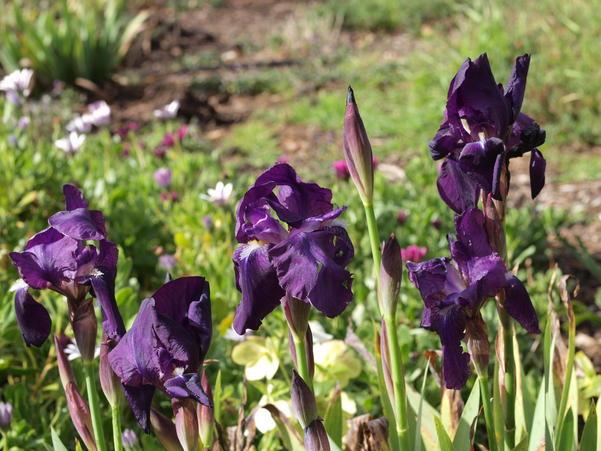 Iris-3.jpeg
