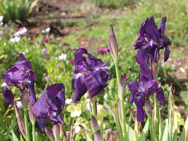 Iris-4.jpeg