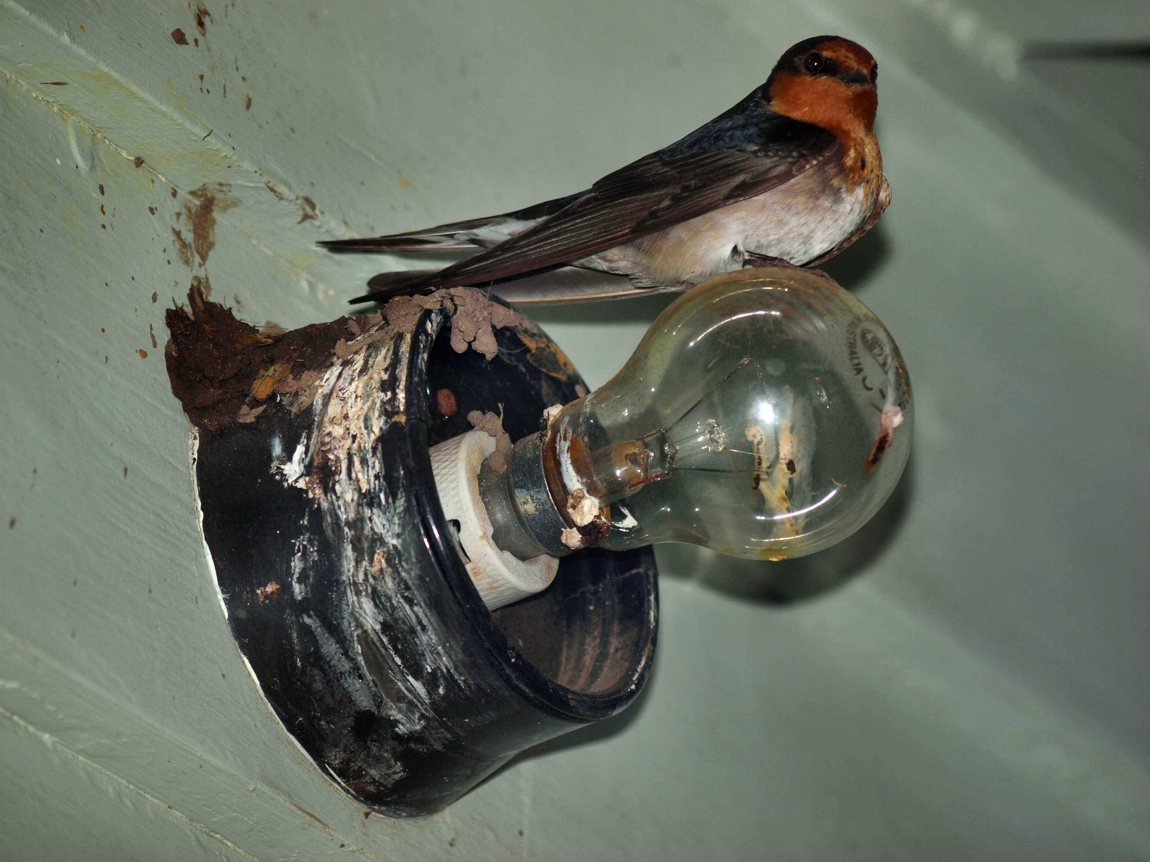 Swallow-2.jpeg