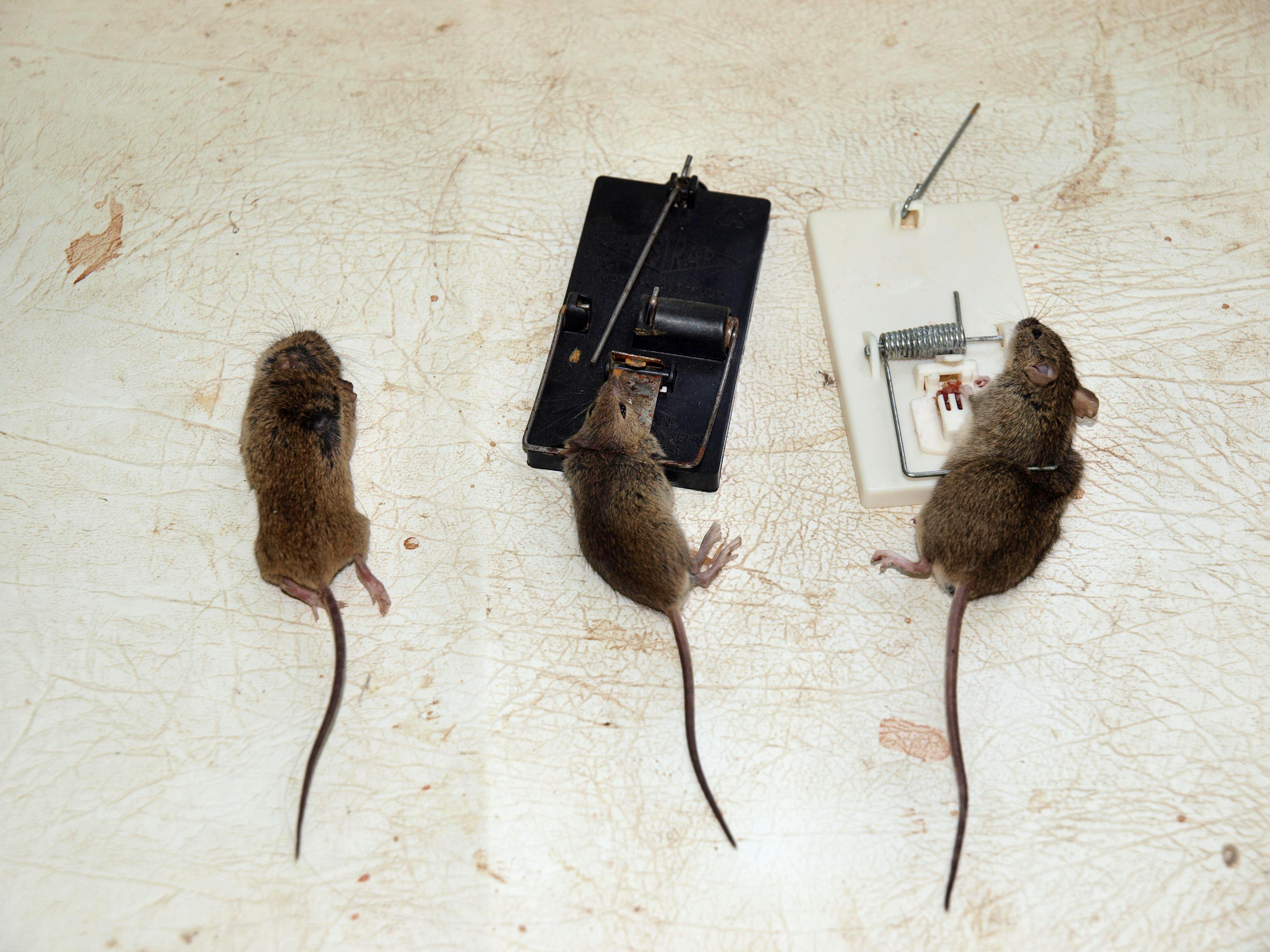 Mice-1.jpeg