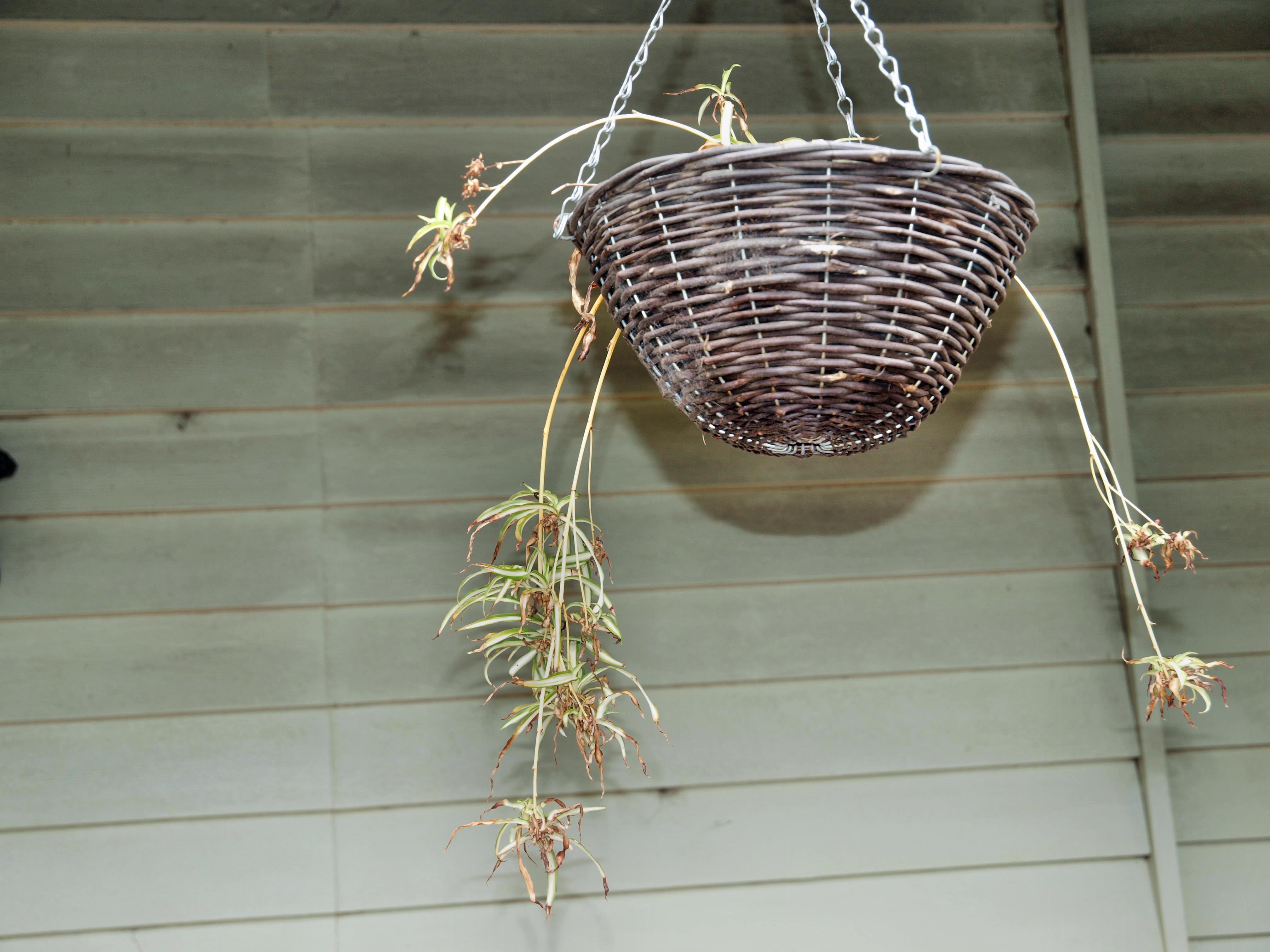 Chlorophytum.jpeg