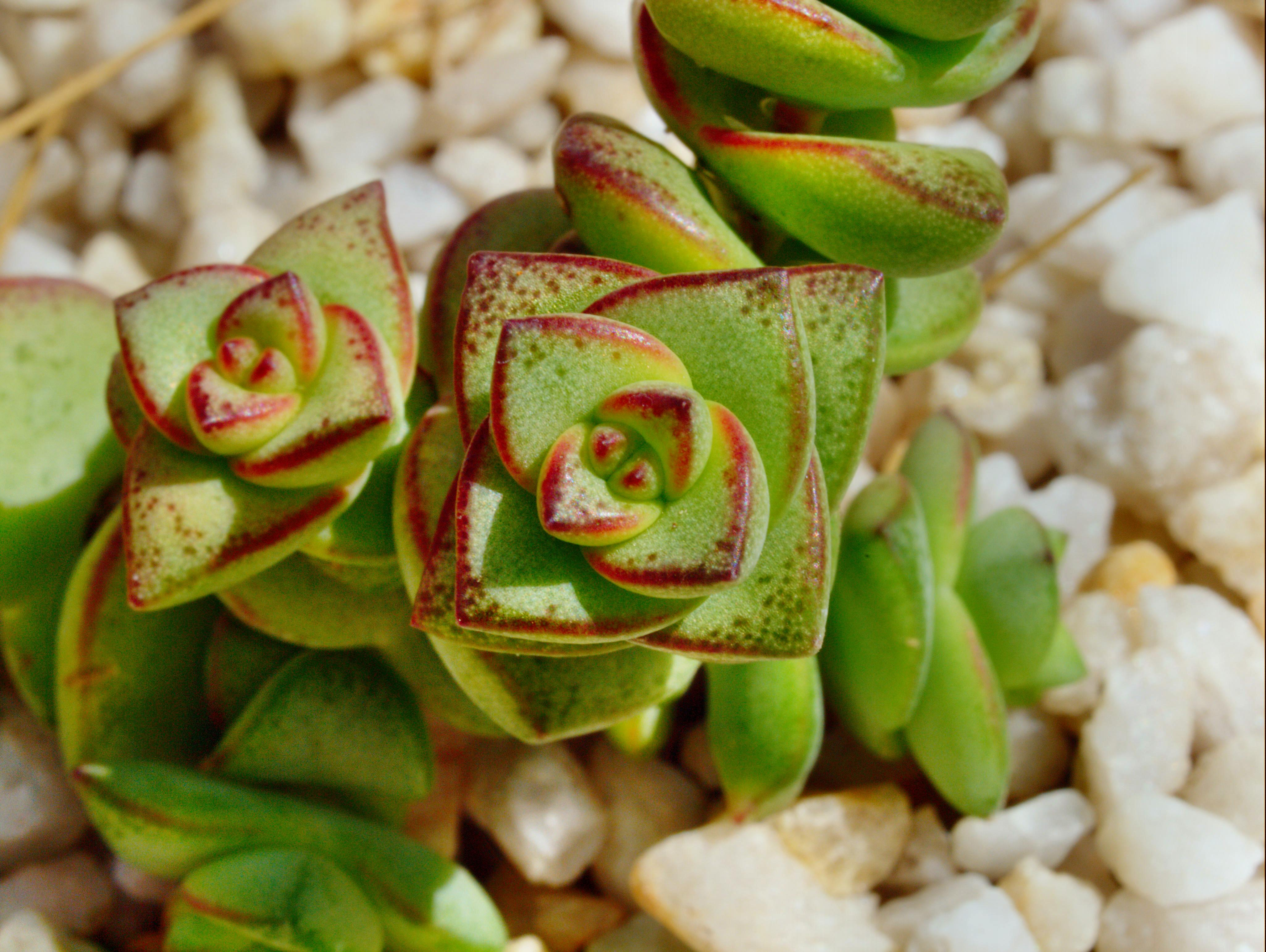 Crassula-perforata-2.jpeg