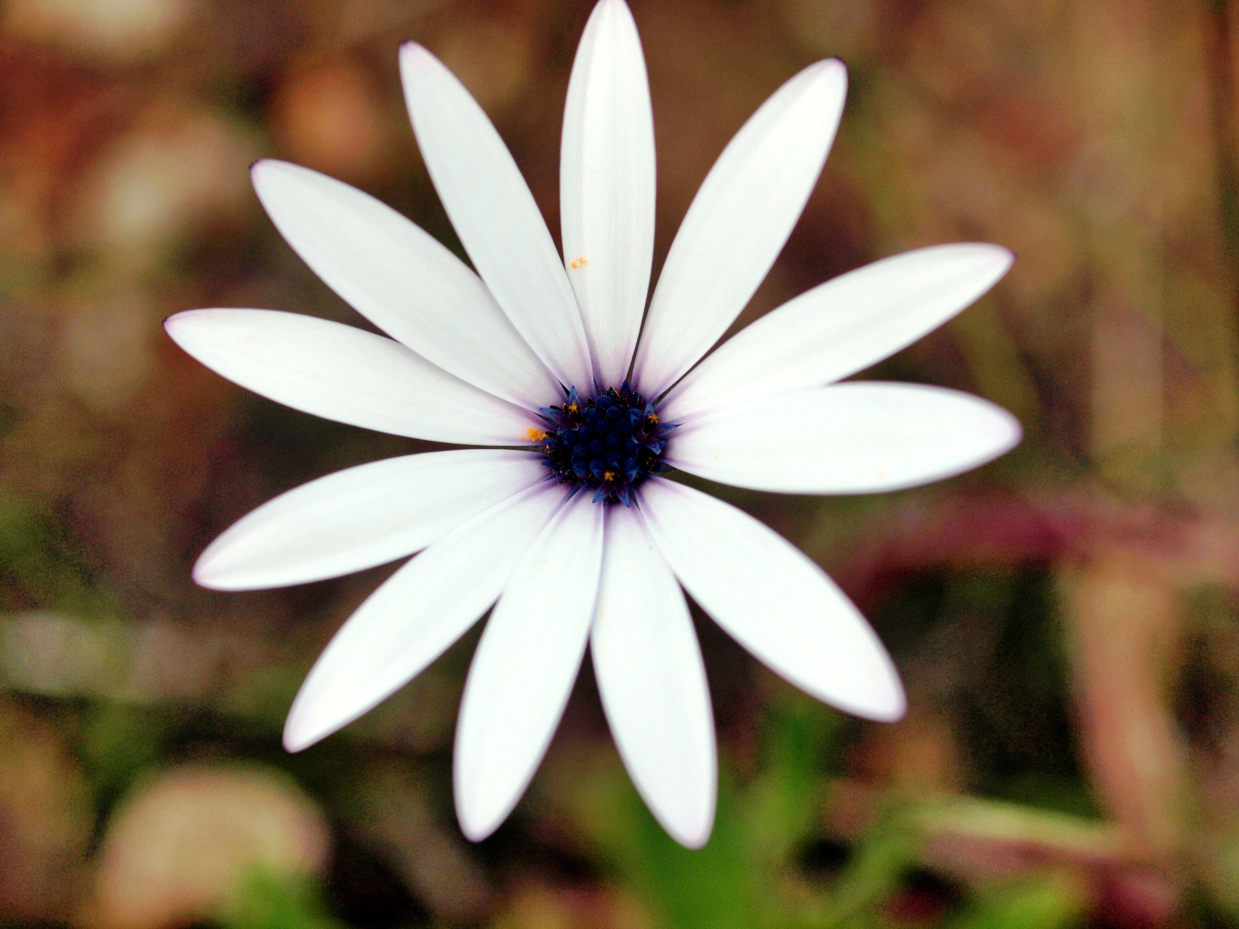 Osteospermum-3.jpeg