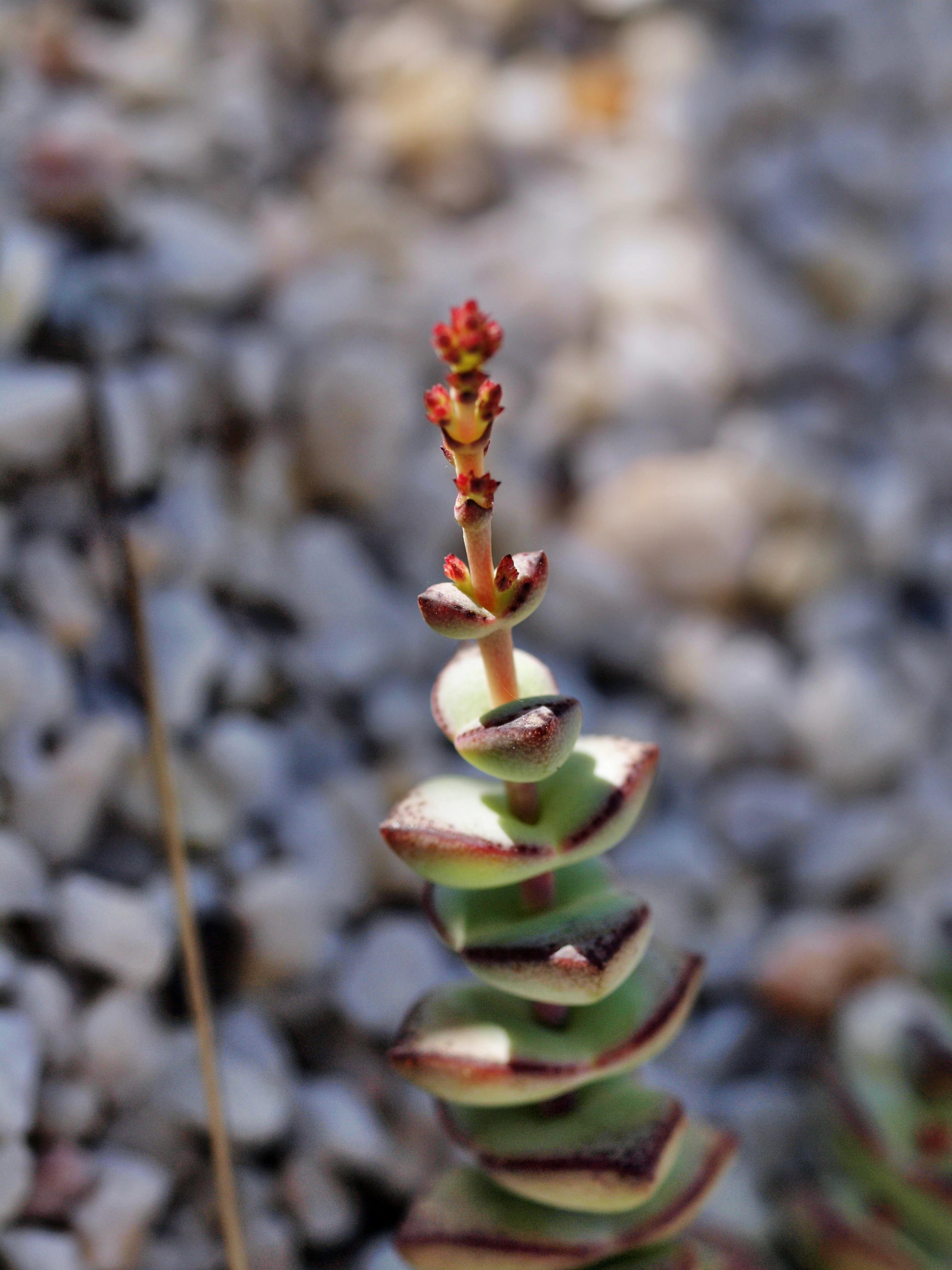 Crassula-perforata.jpeg