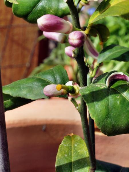 Lemon-flower.jpeg