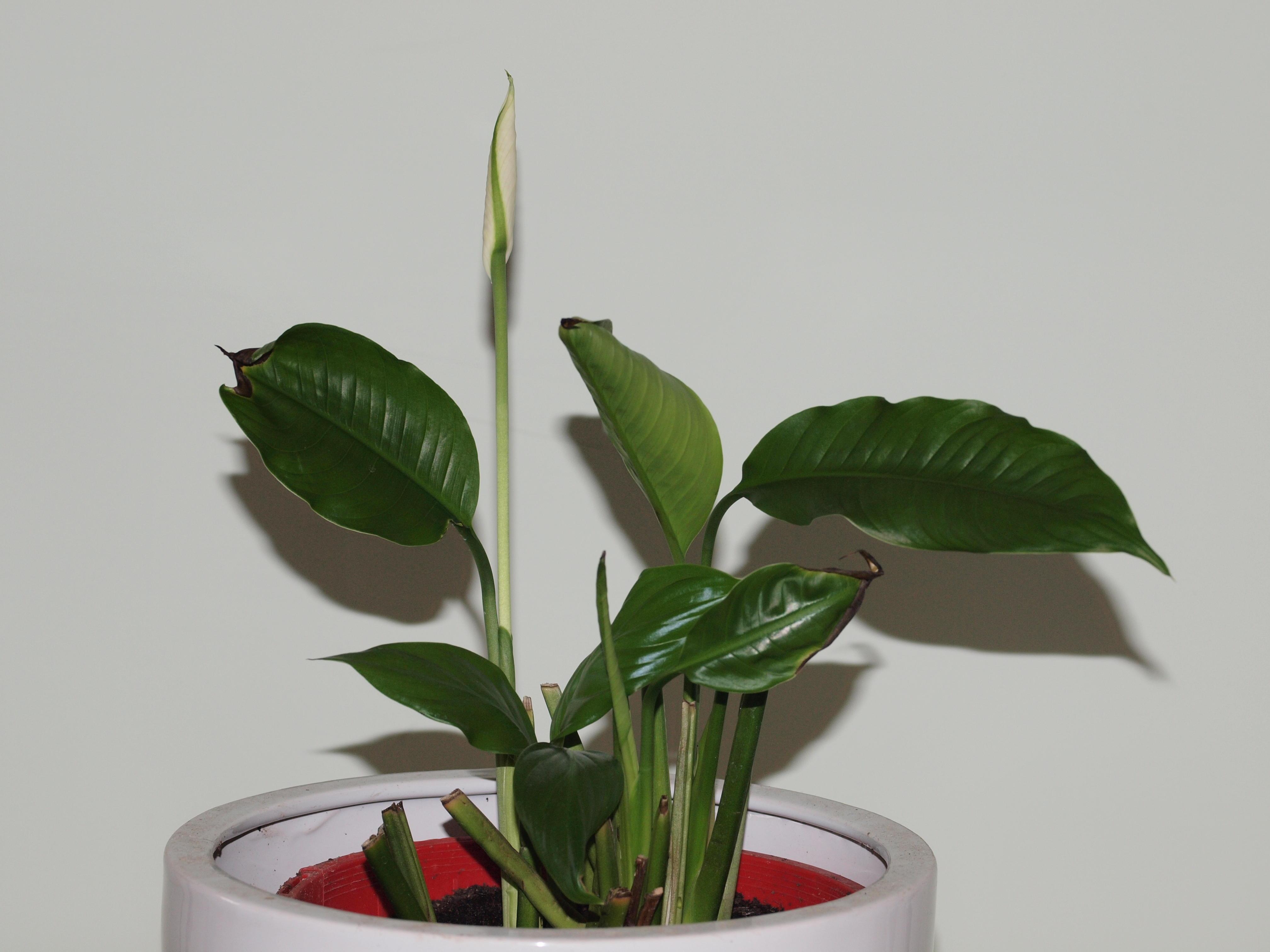 Spathiphyllum-2-orig.jpeg