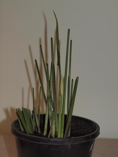 Spathiphyllum-10-orig.jpeg