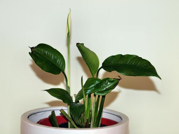 Spathiphyllum-4.jpeg