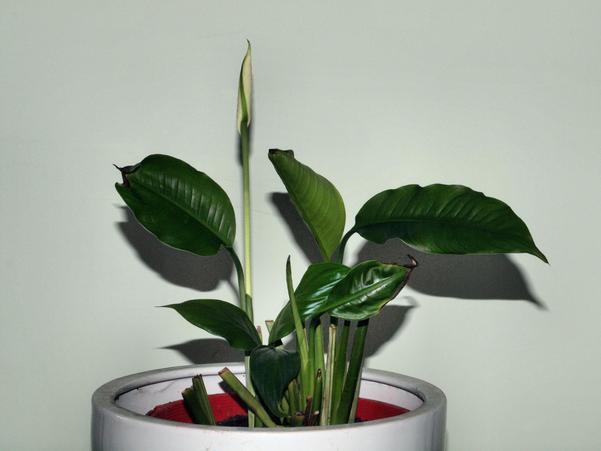 Spathiphyllum-6.jpeg