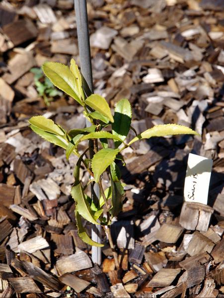 Camellia-sinensis.jpeg
