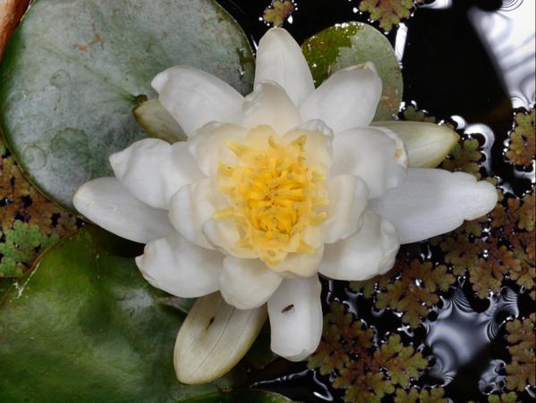 Water-lily-2.jpeg