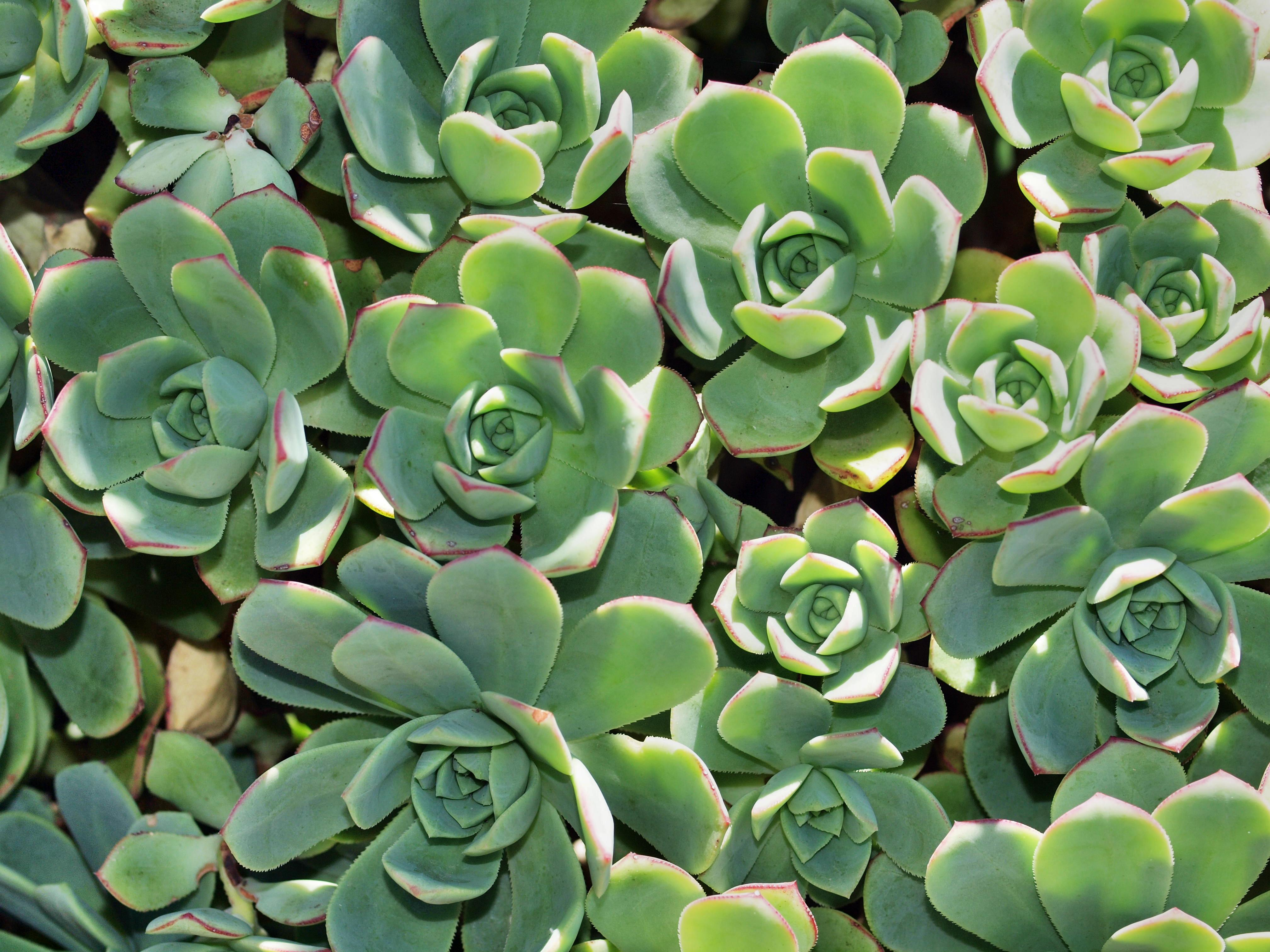This should be Aeonium-3.jpeg.  Is it missing?