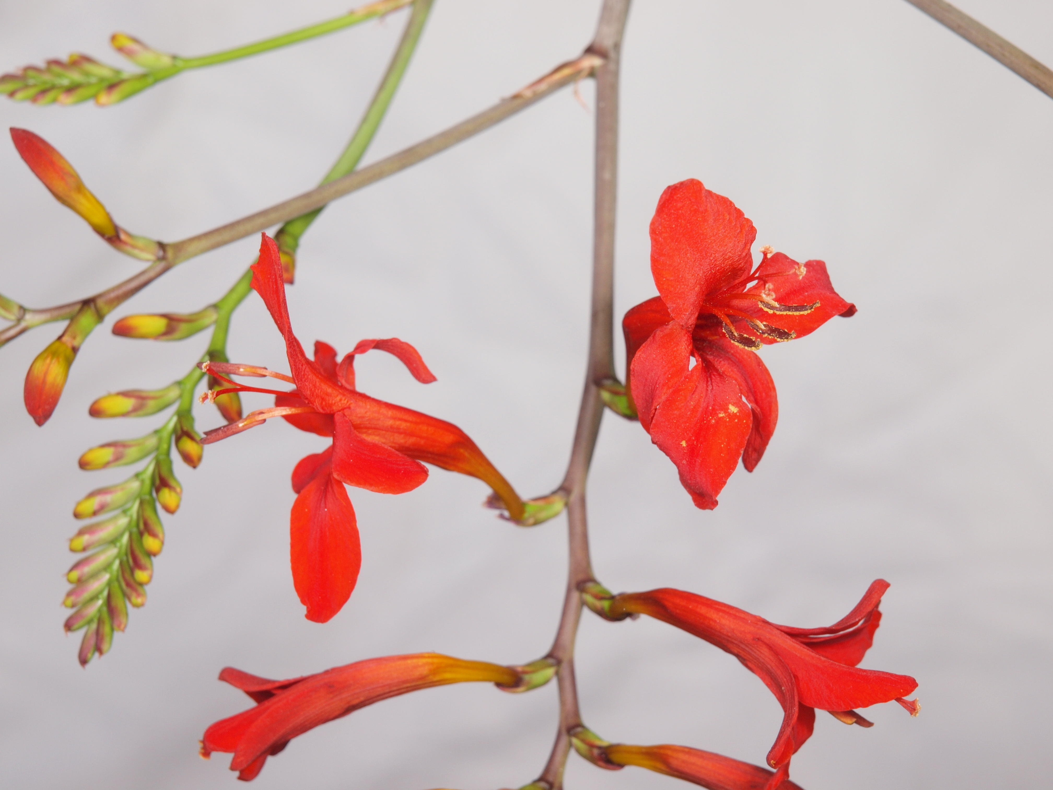 Crocosmia-5.jpeg
