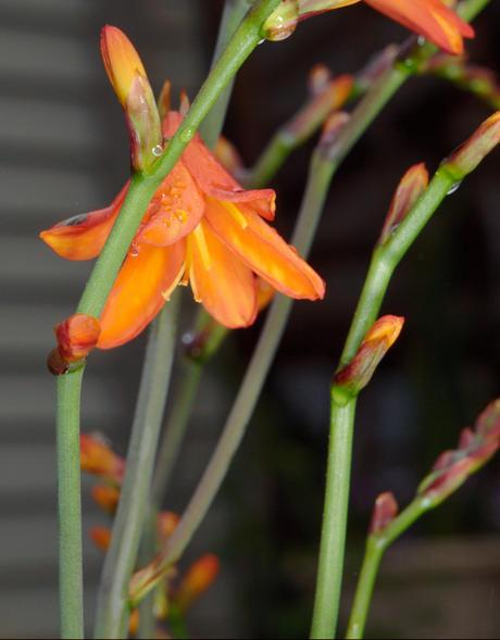 Watsonia-1.jpeg