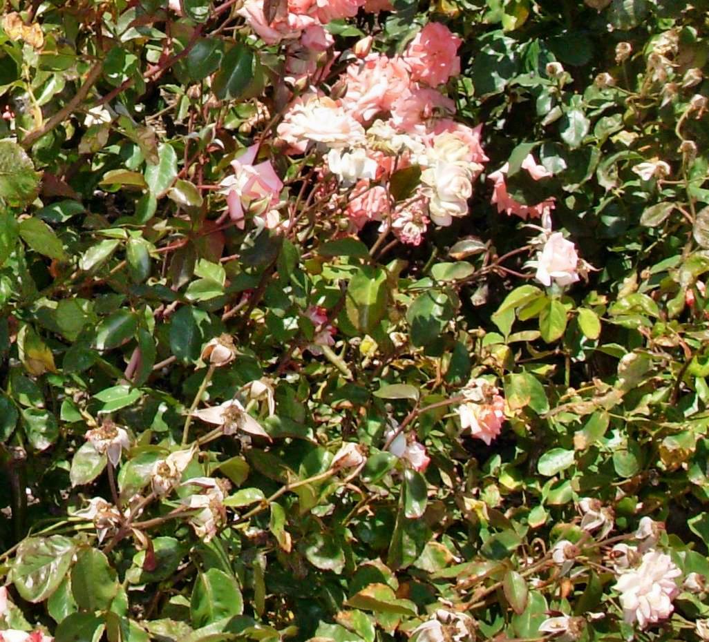 Roses-1-detail.jpeg