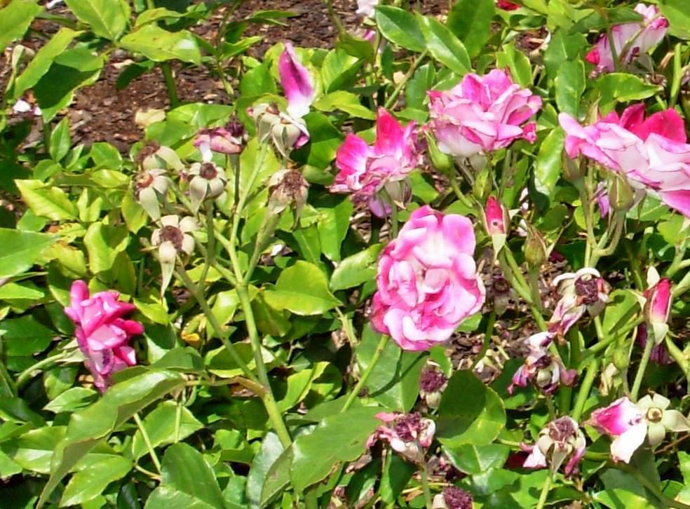 Roses-2-detail.jpeg