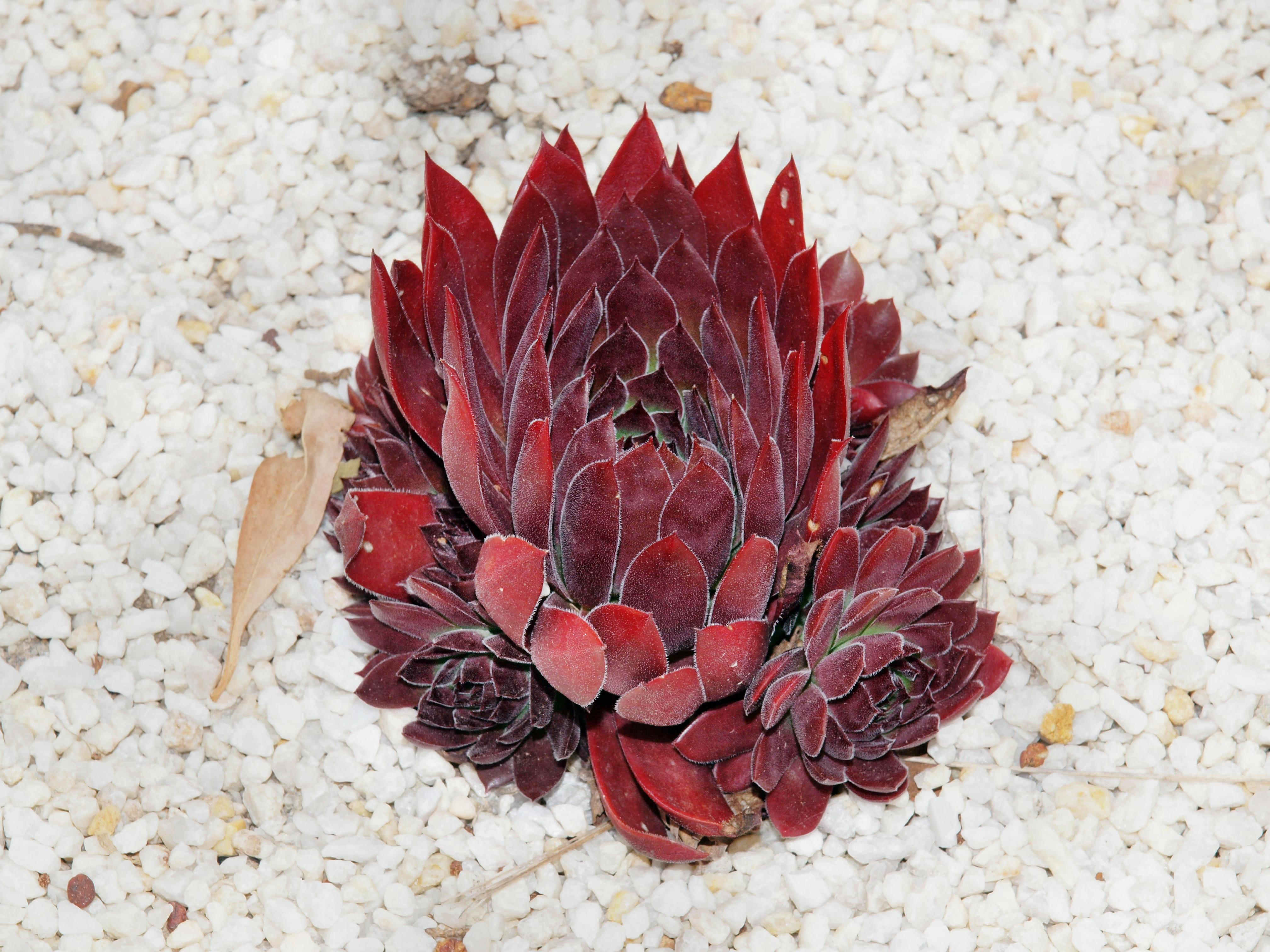 Sempervivum-3.jpeg