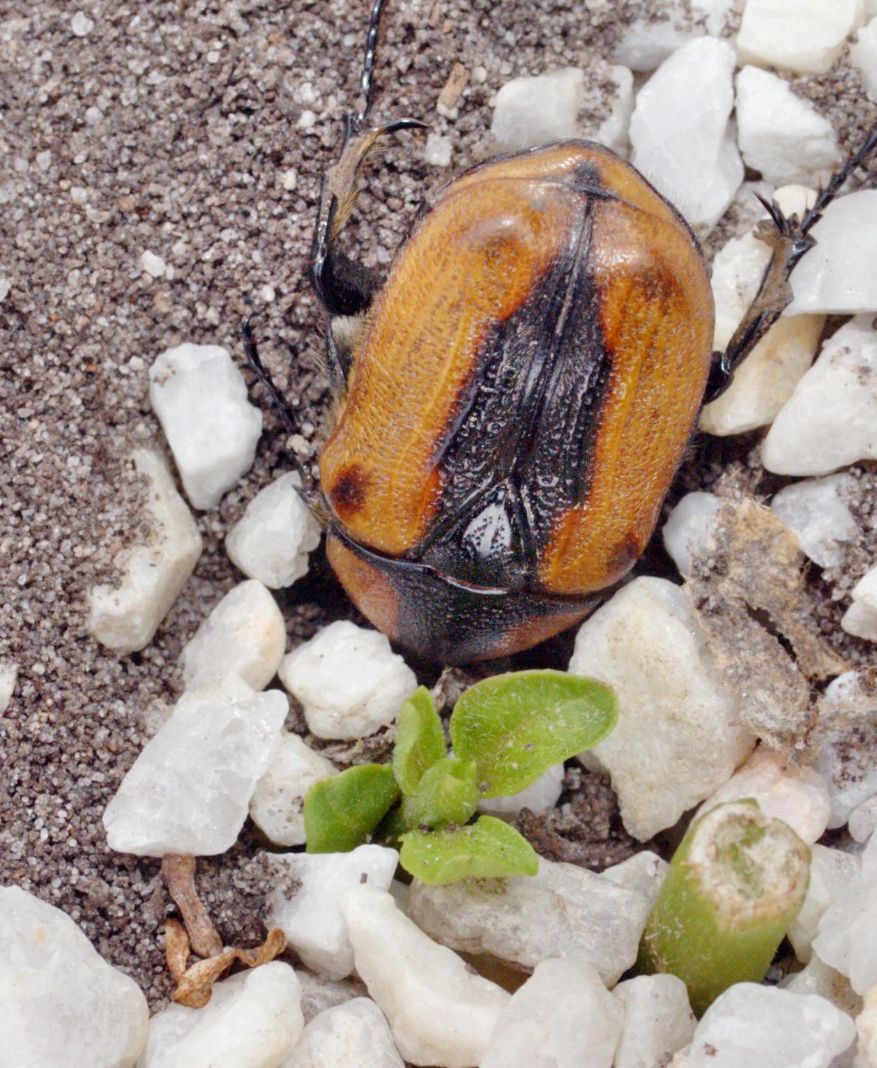 Beetle-2.jpeg