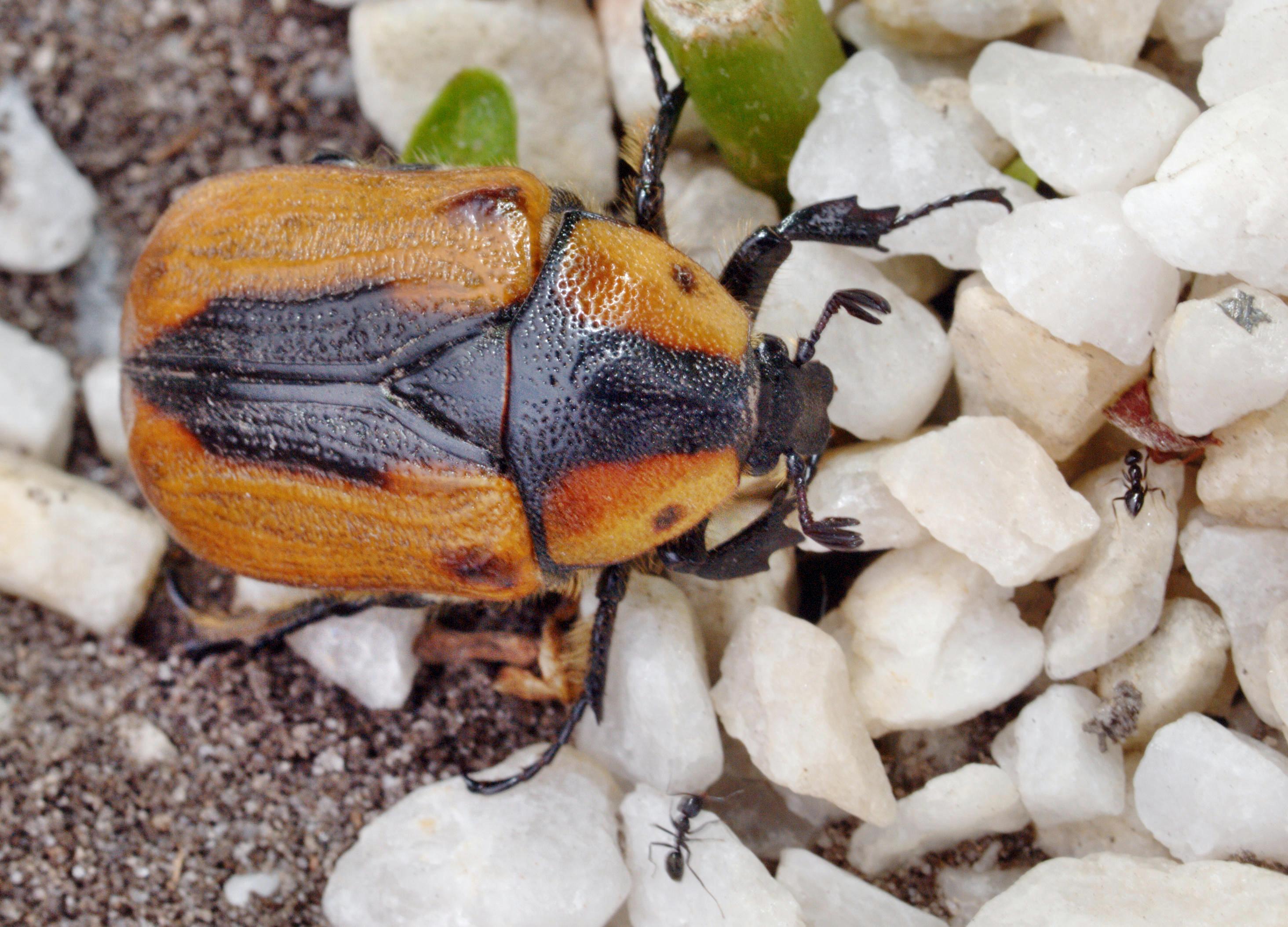 Beetle-7.jpeg