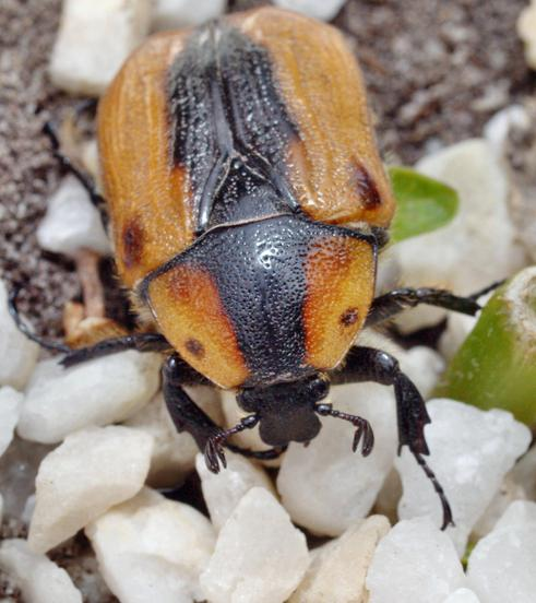 Beetle-8.jpeg