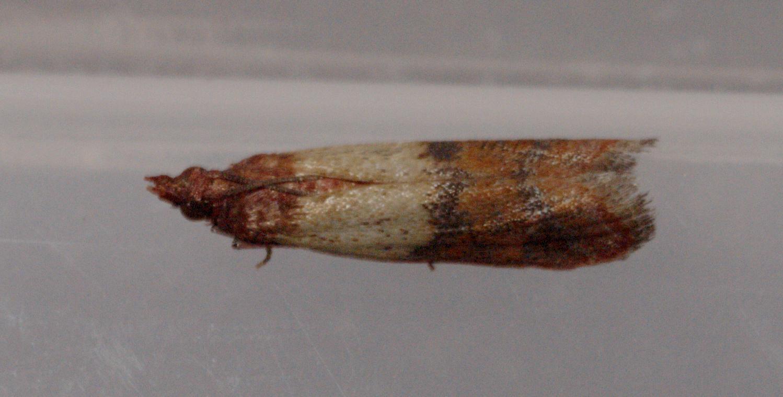 Indianmeal-moth-1.jpeg