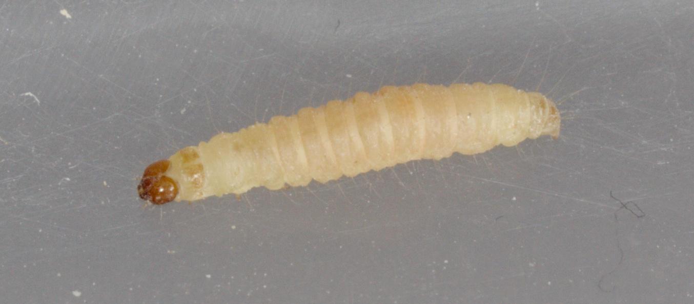 Indianmeal-moth-5.jpeg