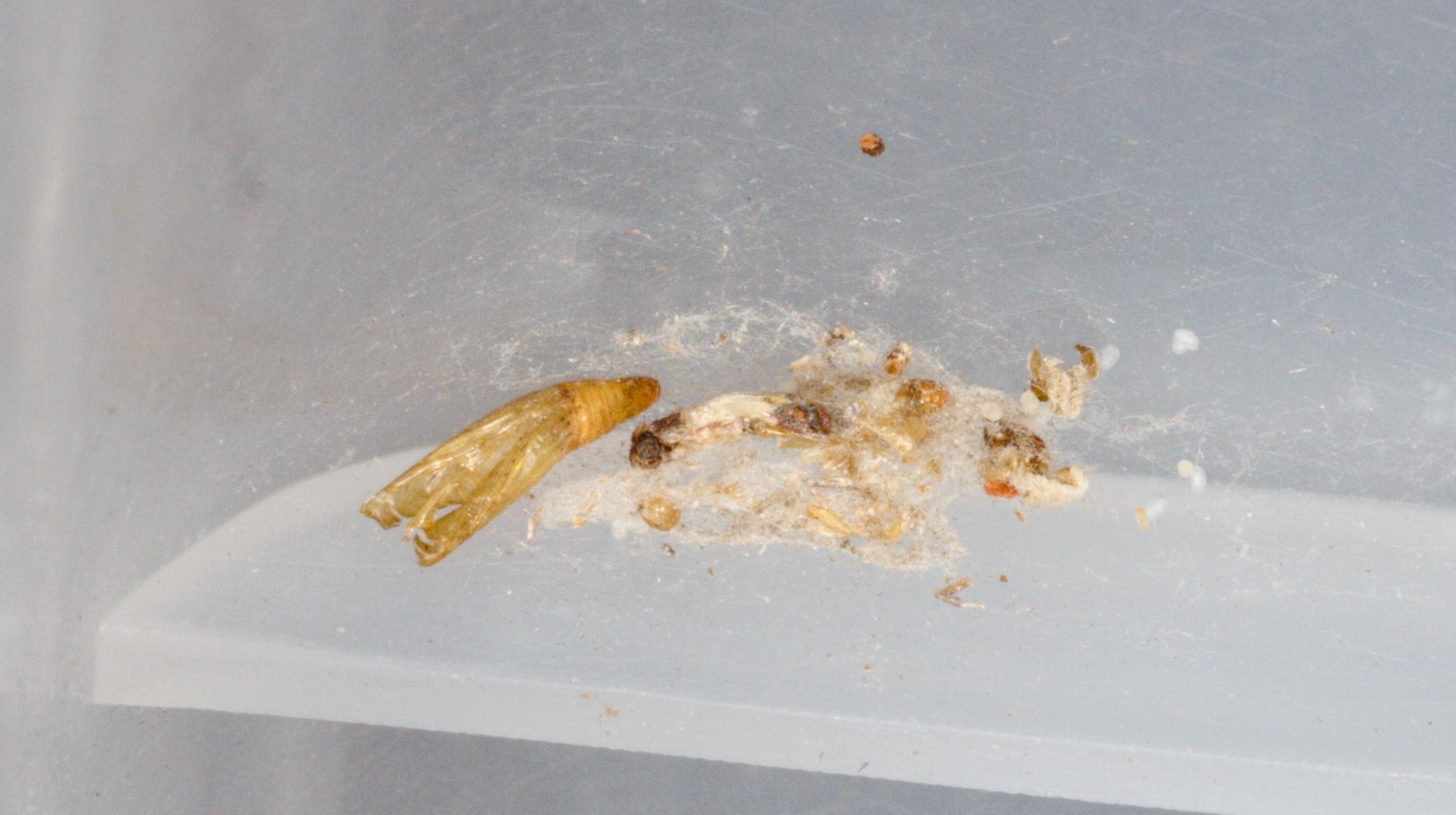 Indianmeal-moth-9.jpeg