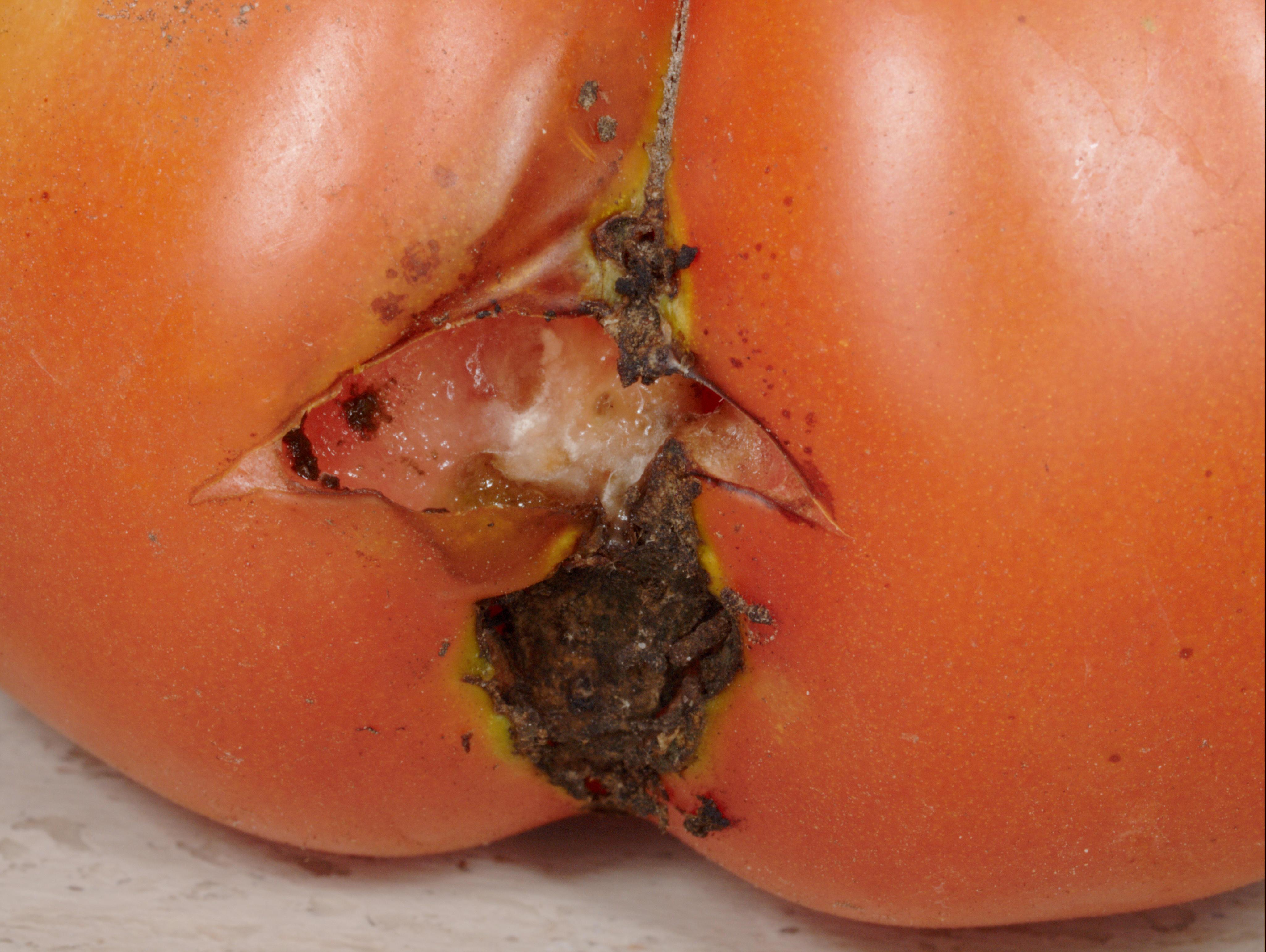 Tomato-5.jpeg