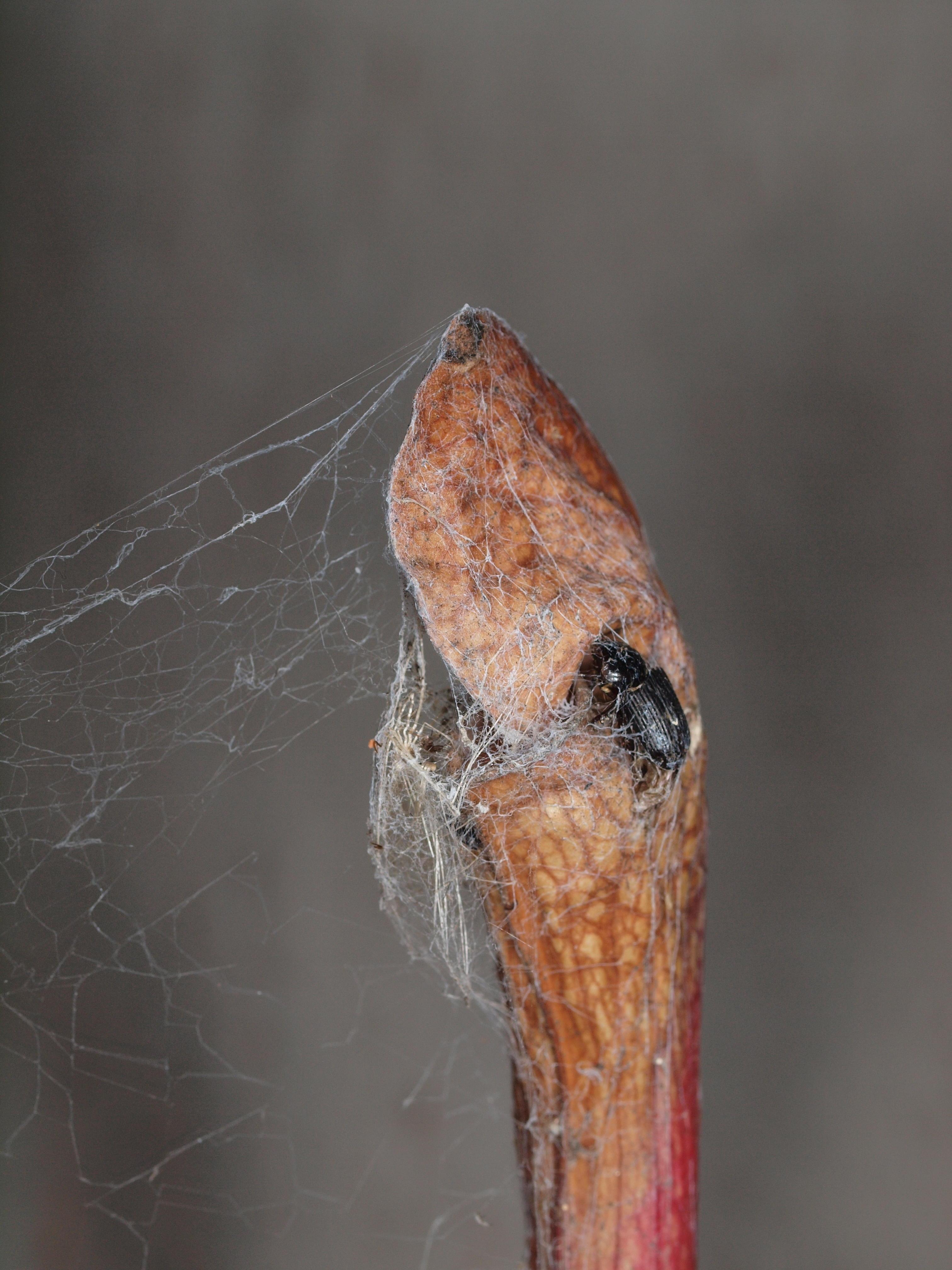 Sarracenia-4.jpeg