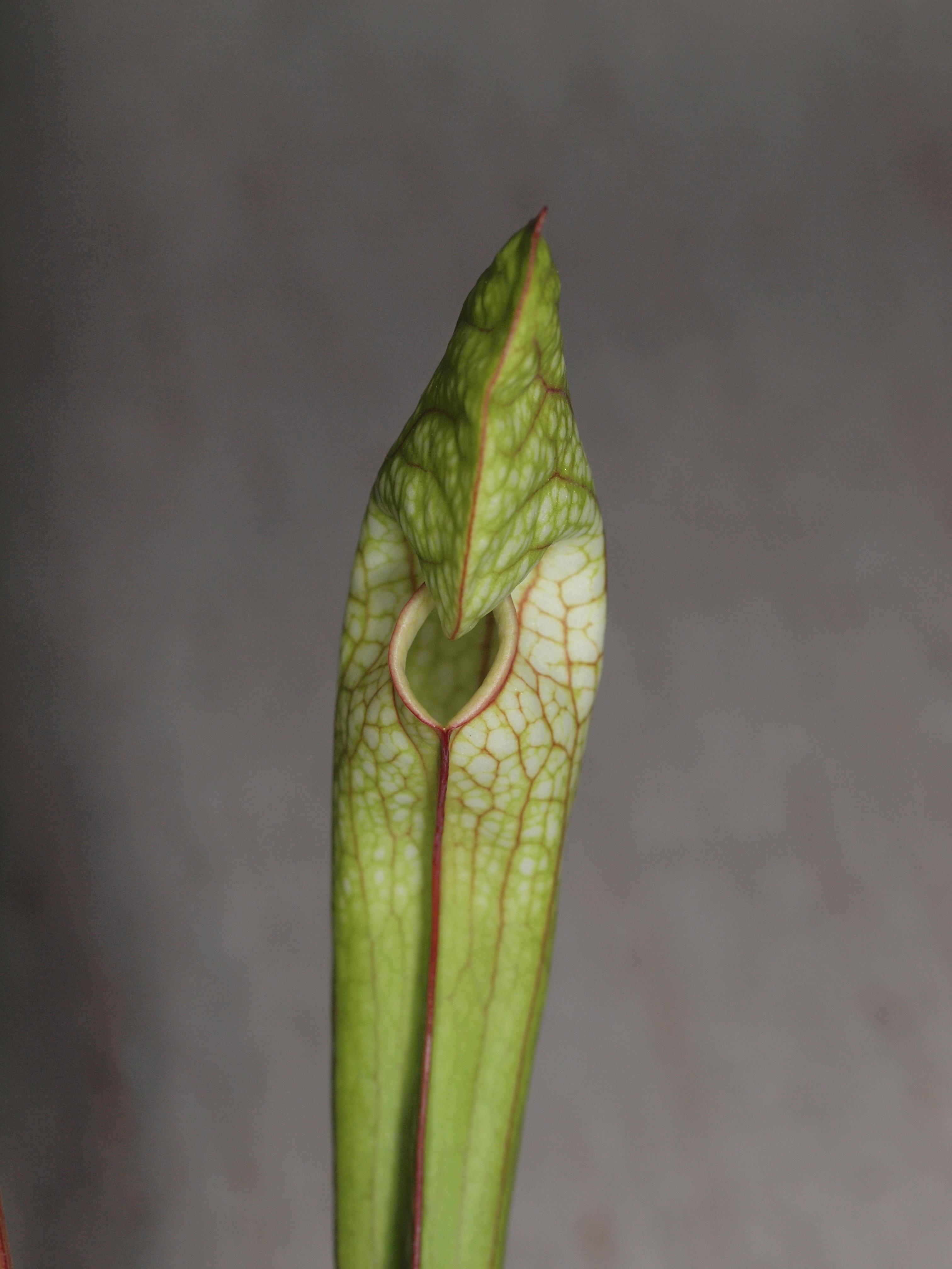 Sarracenia-5.jpeg