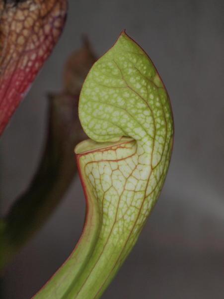 Sarracenia-6.jpeg