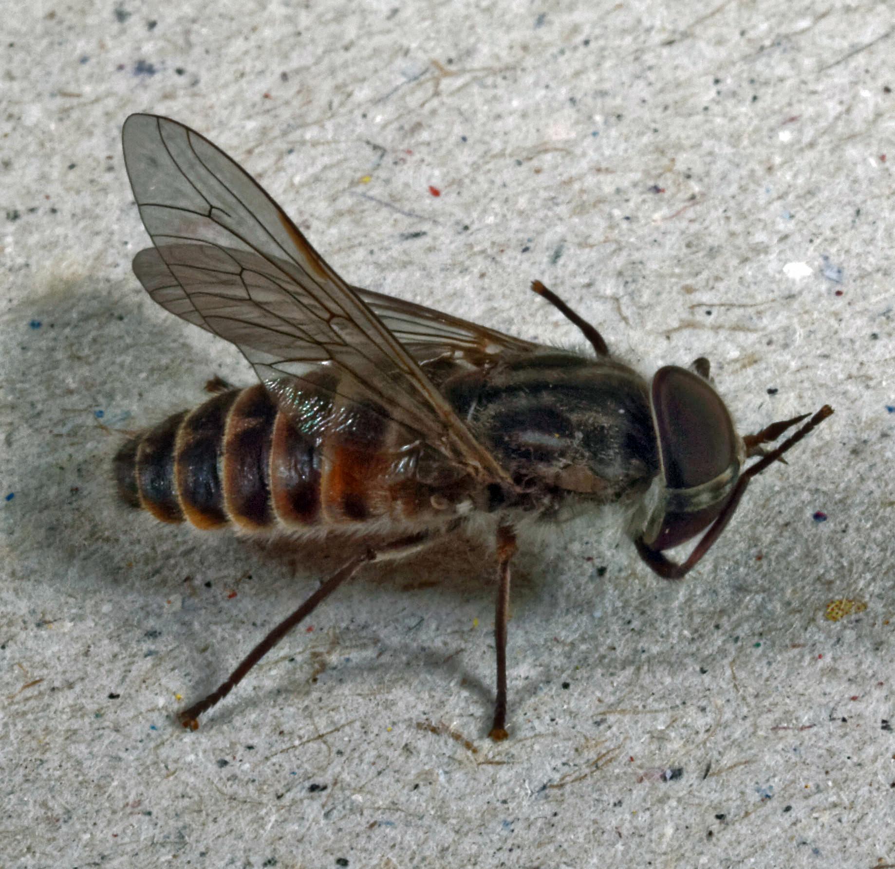 Horse-fly-16.jpeg