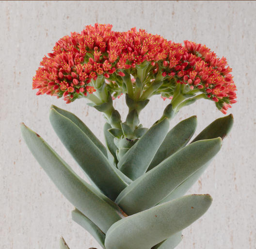 Crassula-falcata.jpeg