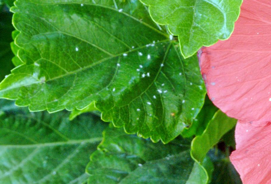 Hibiscus-1-detail.jpeg