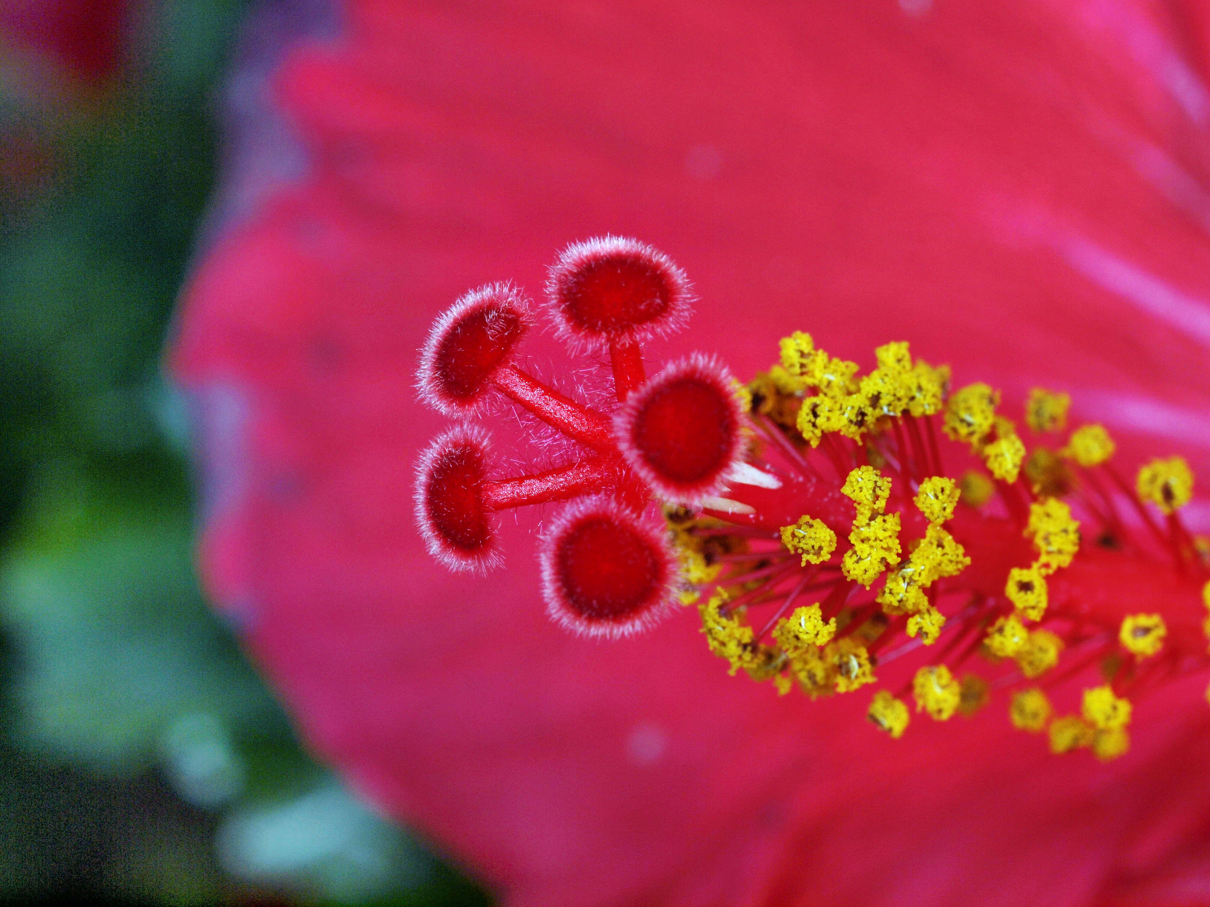 Hibiscus-4.jpeg