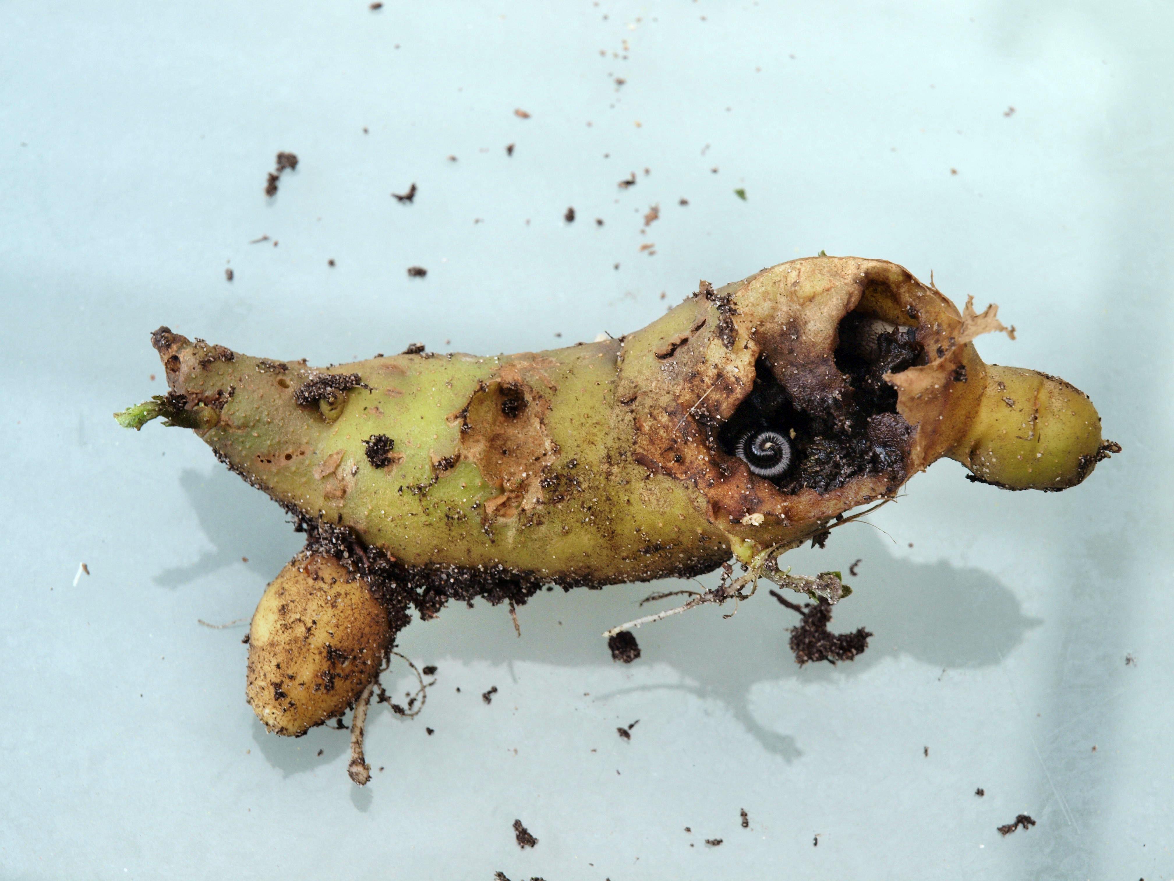Potato-1.jpeg