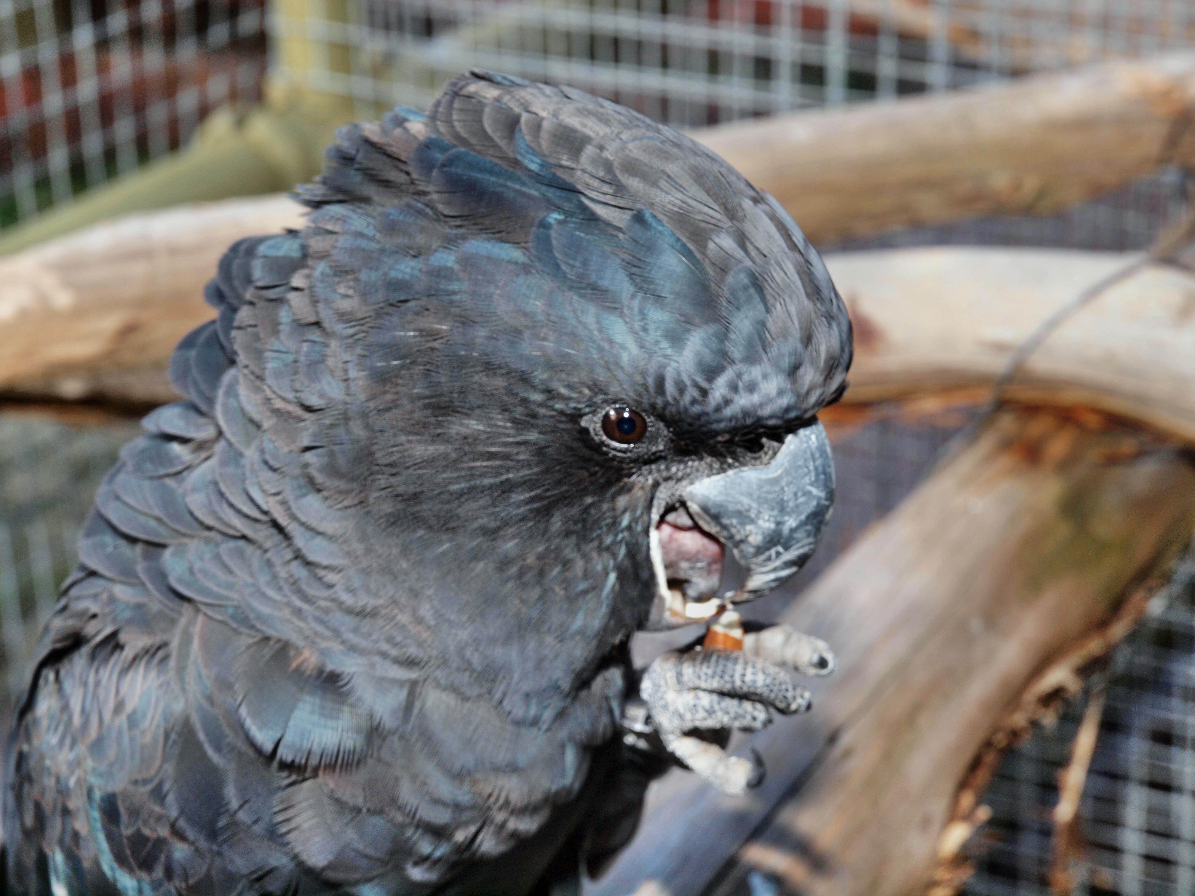 Black-cockatoo-19.jpeg