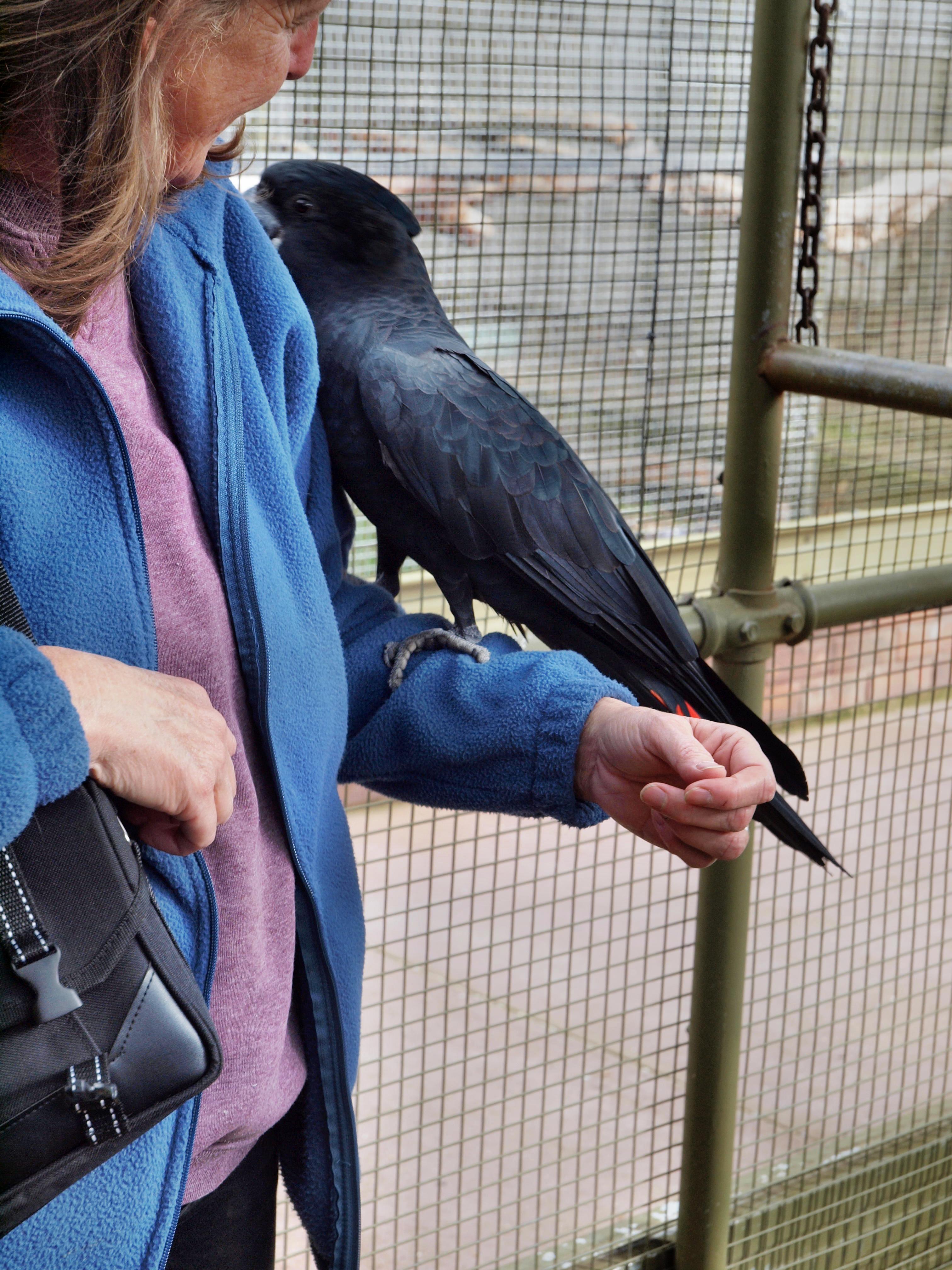 Black-cockatoo-2.jpeg