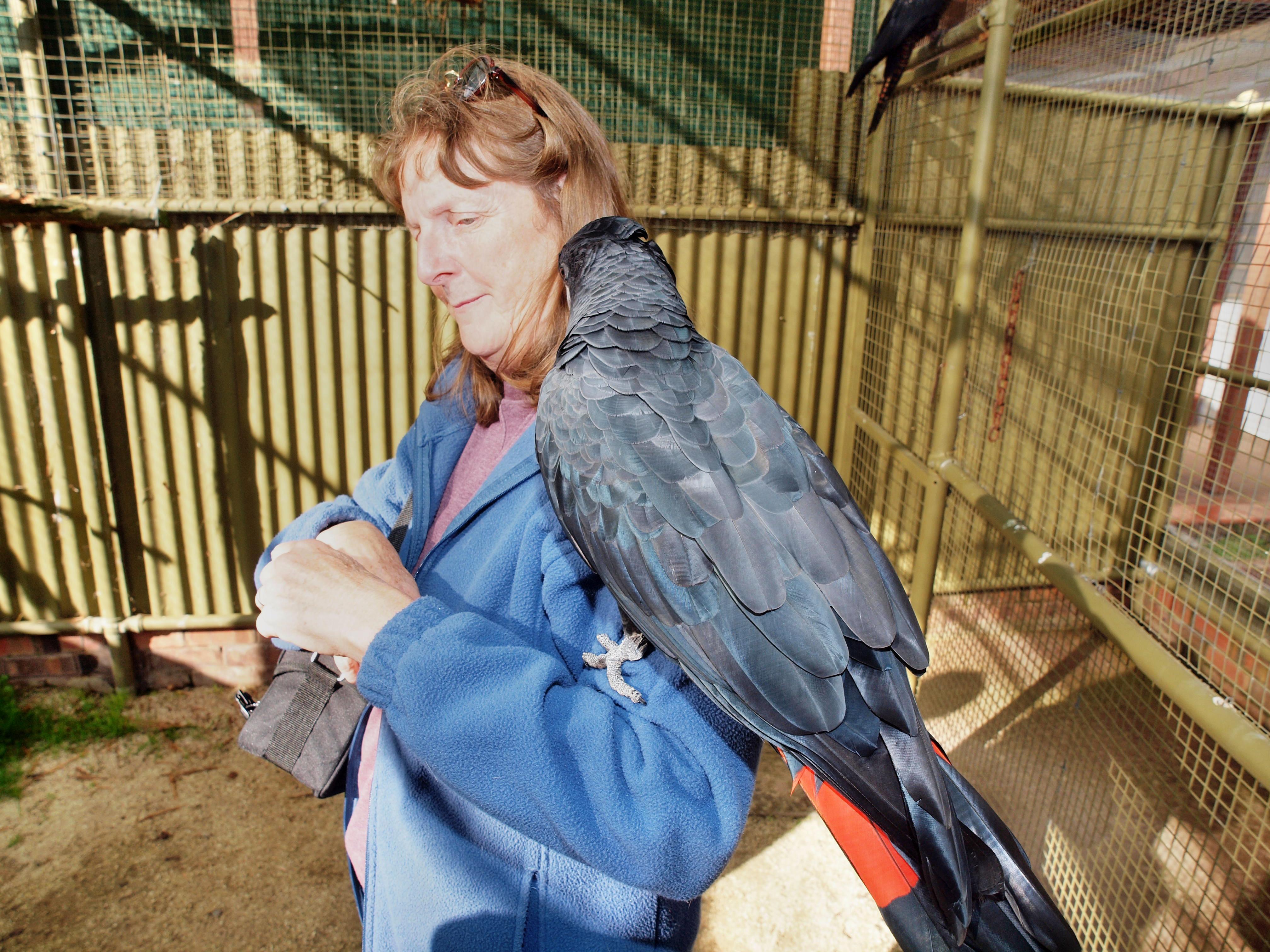 Black-cockatoo-7.jpeg