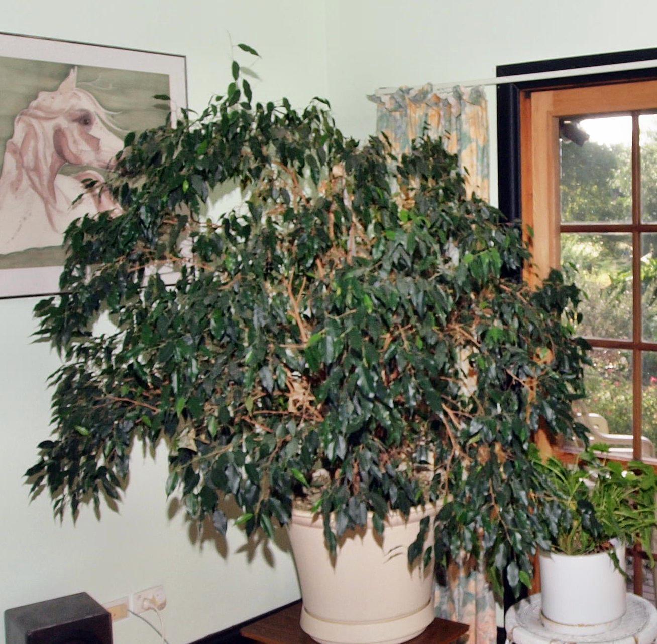 Ficus-benjamina-1.jpeg