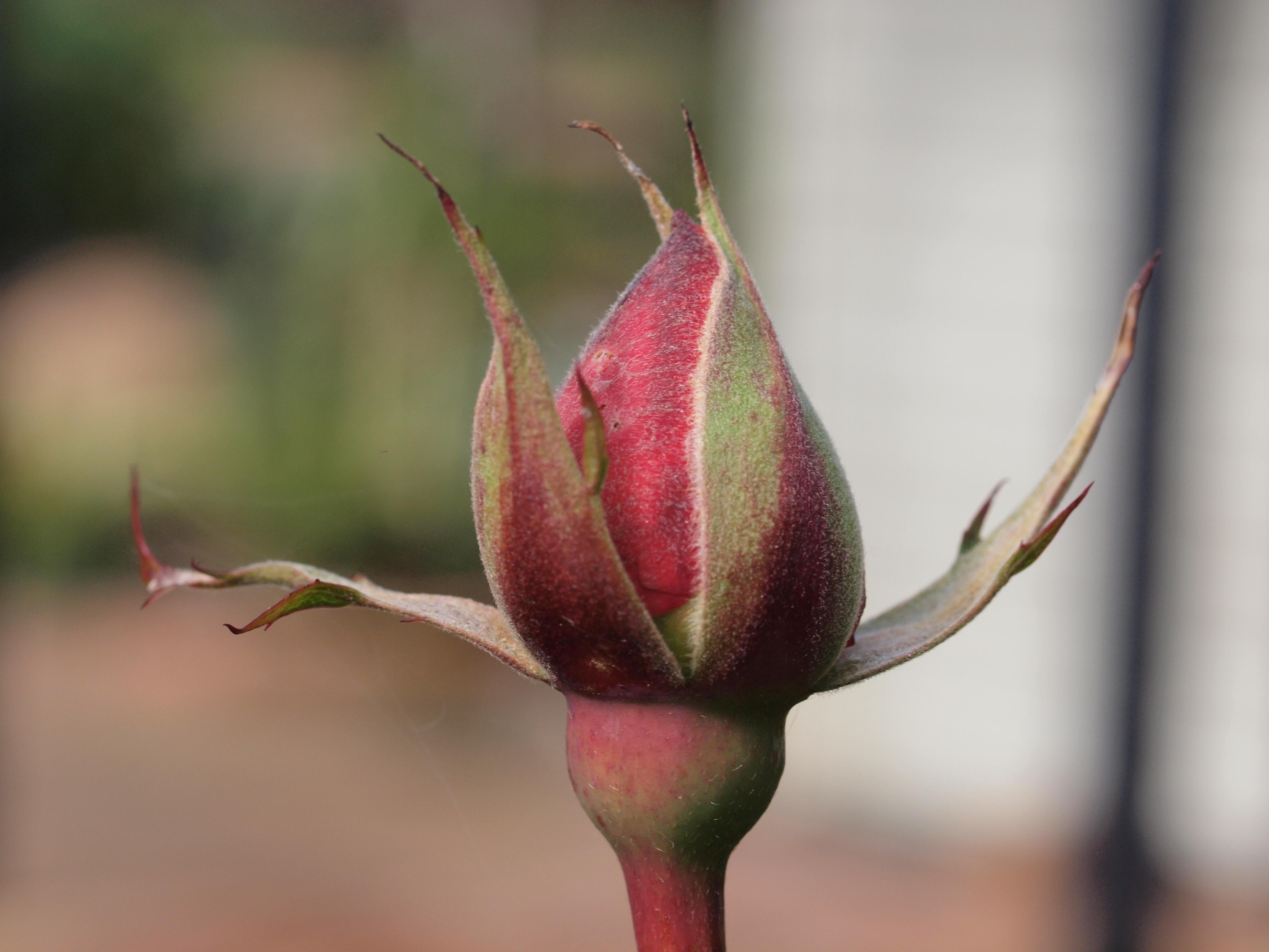 Rosebud-3.jpeg