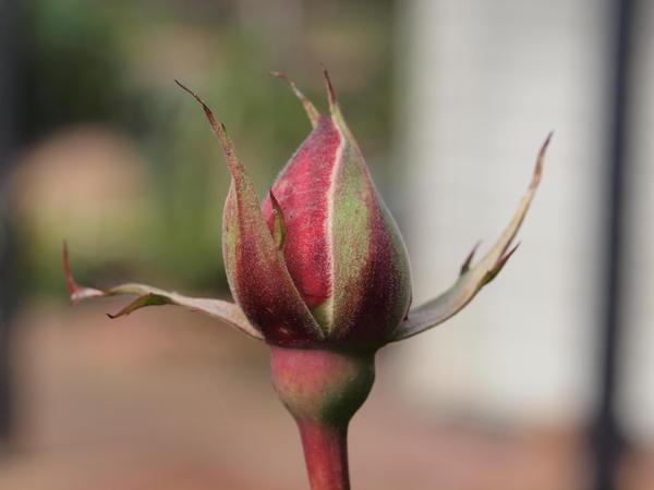 Rosebud-2.jpeg