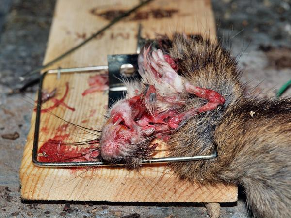 Rat-trap-2.jpeg