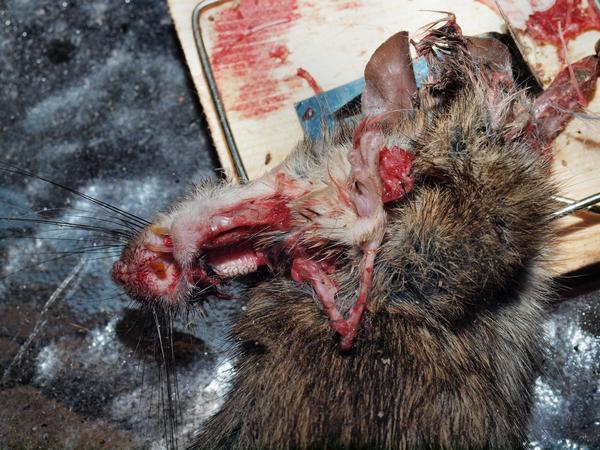 Rat-trap-3.jpeg