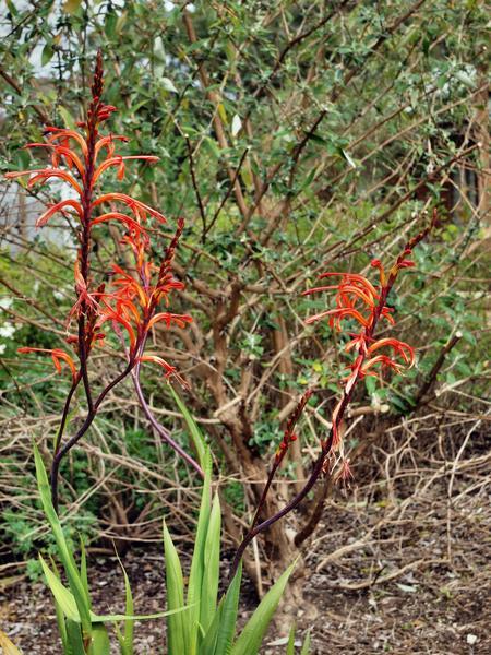 Chasmanthe-floribunda-2.jpeg