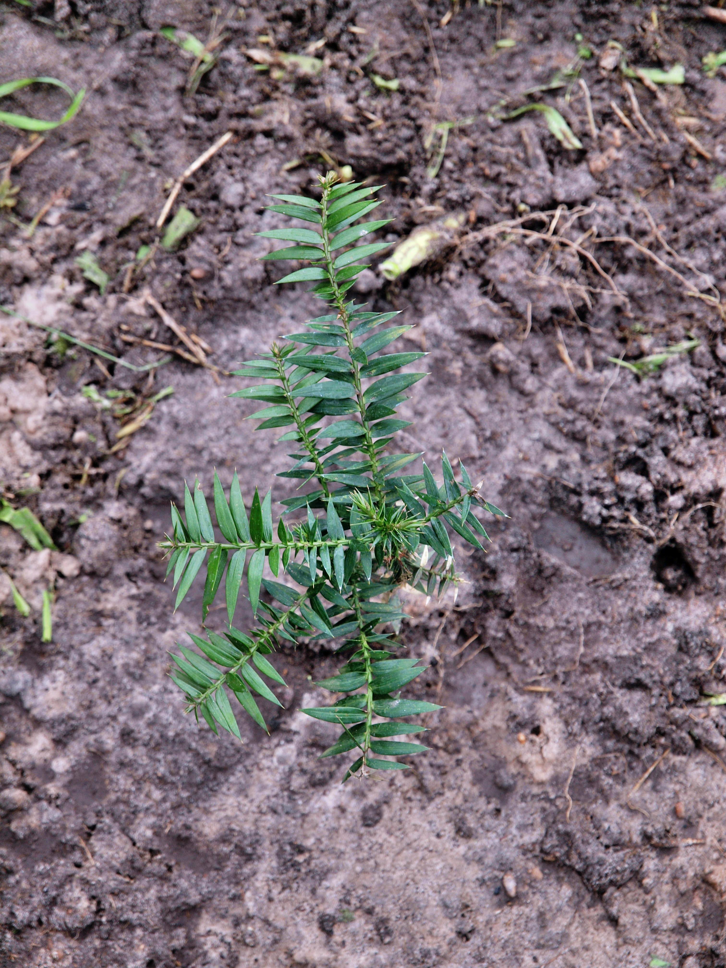 Araucaria-bidwillii.jpeg