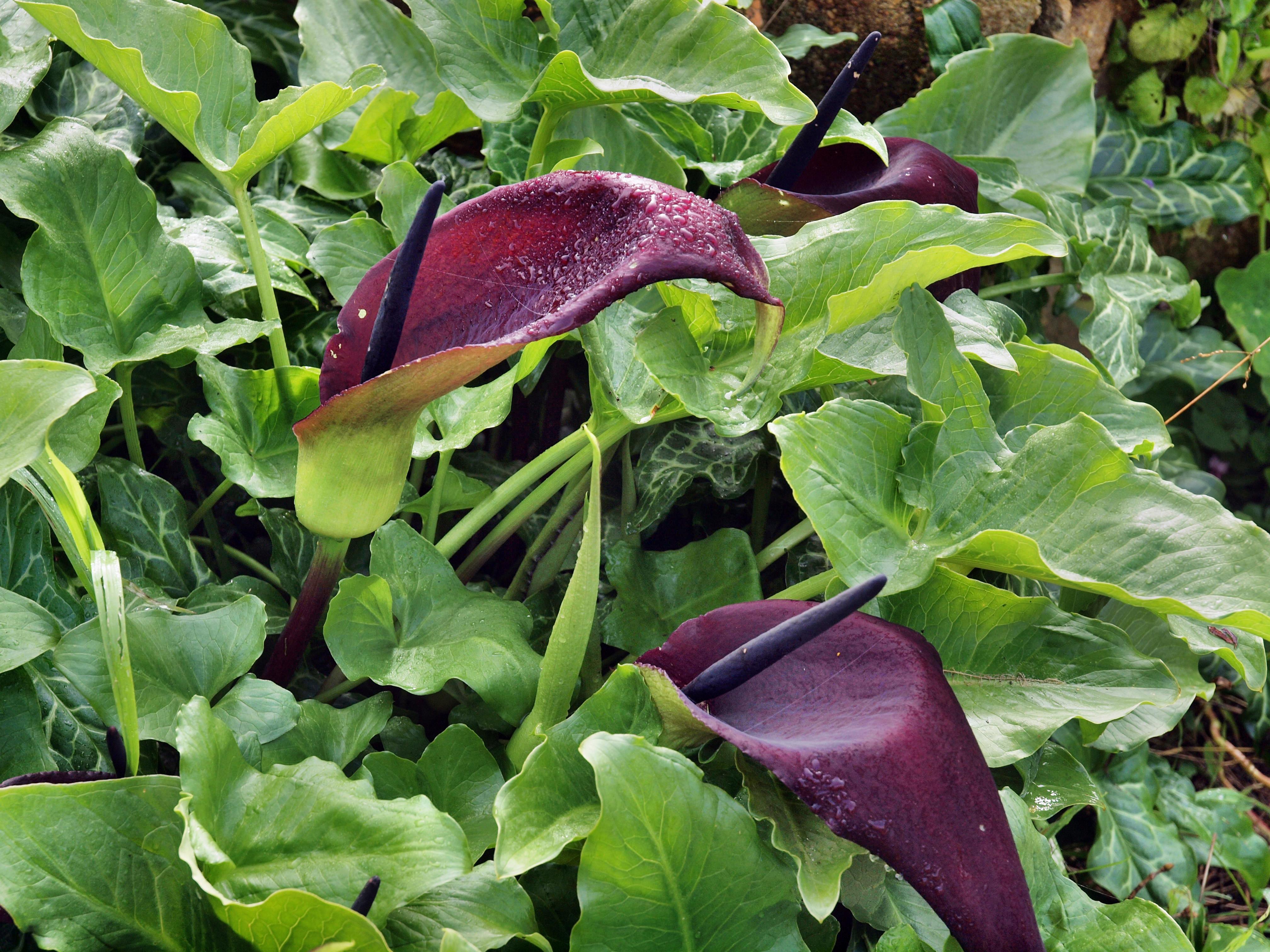Dracunculus-vulgaris.jpeg
